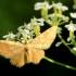 Mažoji geltonoji cidarija - Hydrelia flammeolaria | Fotografijos autorius : Ramunė Vakarė | © Macrogamta.lt | Šis tinklapis priklauso bendruomenei kuri domisi makro fotografija ir fotografuoja gyvąjį makro pasaulį.