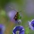 Mažoji ilgaūsė makštinė kandis - Cauchas fibulella | Fotografijos autorius : Eglė Vičiuvienė (Černevičiūtė) | © Macrogamta.lt | Šis tinklapis priklauso bendruomenei kuri domisi makro fotografija ir fotografuoja gyvąjį makro pasaulį.