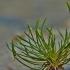 Mažoji strugena - Myosurus minimus | Fotografijos autorius : Kęstutis Obelevičius | © Macrogamta.lt | Šis tinklapis priklauso bendruomenei kuri domisi makro fotografija ir fotografuoja gyvąjį makro pasaulį.