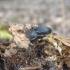 Šliužagraužis maitvabalis - Phosphuga atrata | Fotografijos autorius : Agnė Kulpytė | © Macrogamta.lt | Šis tinklapis priklauso bendruomenei kuri domisi makro fotografija ir fotografuoja gyvąjį makro pasaulį.