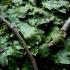 Kūginė apiželė - Conocephalum conicum   Fotografijos autorius : Aleksandras Stabrauskas   © Macrogamta.lt   Šis tinklapis priklauso bendruomenei kuri domisi makro fotografija ir fotografuoja gyvąjį makro pasaulį.