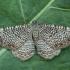 Margajuostis sprindžius - Hydria undulata | Fotografijos autorius : Žilvinas Pūtys | © Macrogamta.lt | Šis tinklapis priklauso bendruomenei kuri domisi makro fotografija ir fotografuoja gyvąjį makro pasaulį.