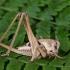 Margasis žiogas - Decticus verrucivorus, patelė | Fotografijos autorius : Vaida Paznekaitė | © Macrogamta.lt | Šis tinklapis priklauso bendruomenei kuri domisi makro fotografija ir fotografuoja gyvąjį makro pasaulį.