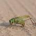 Margasis žiogas - Decticus verrucivorus | Fotografijos autorius : Zita Gasiūnaitė | © Macrogamta.lt | Šis tinklapis priklauso bendruomenei kuri domisi makro fotografija ir fotografuoja gyvąjį makro pasaulį.