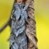 Margasparnė kukulija - Cucullia fraudatrix   Fotografijos autorius : Arūnas Eismantas   © Macrogamta.lt   Šis tinklapis priklauso bendruomenei kuri domisi makro fotografija ir fotografuoja gyvąjį makro pasaulį.