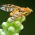 Margasparnė - Chaetostomella cylindrica | Fotografijos autorius : Ramunė Vakarė | © Macrogamta.lt | Šis tinklapis priklauso bendruomenei kuri domisi makro fotografija ir fotografuoja gyvąjį makro pasaulį.