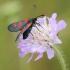 Mažasis marguolis - Zygaena viciae | Fotografijos autorius : Vidas Brazauskas | © Macrogamta.lt | Šis tinklapis priklauso bendruomenei kuri domisi makro fotografija ir fotografuoja gyvąjį makro pasaulį.