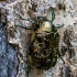 Marmurinis auksavabalis - Protaetia marmorata | Fotografijos autorius : Oskaras Venckus | © Macrogamta.lt | Šis tinklapis priklauso bendruomenei kuri domisi makro fotografija ir fotografuoja gyvąjį makro pasaulį.