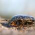 Marmurinis auksavabalis - Protaetia lugubris | Fotografijos autorius : Agnė Našlėnienė | © Macrogamta.lt | Šis tinklapis priklauso bendruomenei kuri domisi makro fotografija ir fotografuoja gyvąjį makro pasaulį.