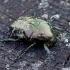 Marmurinis auksavabalis - Protaetia lugubris | Fotografijos autorius : Romas Ferenca | © Macrogamta.lt | Šis tinklapis priklauso bendruomenei kuri domisi makro fotografija ir fotografuoja gyvąjį makro pasaulį.