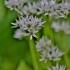 Meškinis česnakas - Allium ursinum | Fotografijos autorius : Kęstutis Obelevičius | © Macrogamta.lt | Šis tinklapis priklauso bendruomenei kuri domisi makro fotografija ir fotografuoja gyvąjį makro pasaulį.