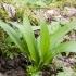 Meškinis česnakas - Allium ursinum   Fotografijos autorius : Kazimieras Martinaitis   © Macrogamta.lt   Šis tinklapis priklauso bendruomenei kuri domisi makro fotografija ir fotografuoja gyvąjį makro pasaulį.