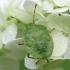 Medinė skydblakė - Palomena prasina, nimfa | Fotografijos autorius : Vidas Brazauskas | © Macrogamta.lt | Šis tinklapis priklauso bendruomenei kuri domisi makro fotografija ir fotografuoja gyvąjį makro pasaulį.