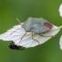 Medinė skydblakė | Fotografijos autorius : Darius Baužys | © Macrogamta.lt | Šis tinklapis priklauso bendruomenei kuri domisi makro fotografija ir fotografuoja gyvąjį makro pasaulį.