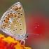 Melsvys - Polyommatus celina | Fotografijos autorius : Deividas Makavičius | © Macrogamta.lt | Šis tinklapis priklauso bendruomenei kuri domisi makro fotografija ir fotografuoja gyvąjį makro pasaulį.