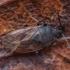 Miškinė dirvablakė - Drymus sylvaticus | Fotografijos autorius : Žilvinas Pūtys | © Macrogamta.lt | Šis tinklapis priklauso bendruomenei kuri domisi makro fotografija ir fotografuoja gyvąjį makro pasaulį.