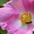 Miškinis erškėtis - Rosa majalis | Fotografijos autorius : Vidas Brazauskas | © Macrogamta.lt | Šis tinklapis priklauso bendruomenei kuri domisi makro fotografija ir fotografuoja gyvąjį makro pasaulį.