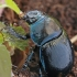 Miškinis mėšlavabalis - Anoplotrupes stercorosus | Fotografijos autorius : Gintautas Steiblys | © Macrogamta.lt | Šis tinklapis priklauso bendruomenei kuri domisi makro fotografija ir fotografuoja gyvąjį makro pasaulį.