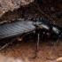 Juodasis smiltžygis - Pterostichus niger | Fotografijos autorius : Žilvinas Pūtys | © Macrogamta.lt | Šis tinklapis priklauso bendruomenei kuri domisi makro fotografija ir fotografuoja gyvąjį makro pasaulį.