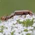 Minkštavabalis - Cantharis pallida | Fotografijos autorius : Darius Baužys | © Macrogamta.lt | Šis tinklapis priklauso bendruomenei kuri domisi makro fotografija ir fotografuoja gyvąjį makro pasaulį.