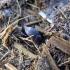 Miškinis afodijus - Oxyomus sylvestris | Fotografijos autorius : Vitalii Alekseev | © Macrogamta.lt | Šis tinklapis priklauso bendruomenei kuri domisi makro fotografija ir fotografuoja gyvąjį makro pasaulį.