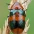 Morkinis salierinukas - Coptocephala unifasciata | Fotografijos autorius : Žilvinas Pūtys | © Macrogamta.lt | Šis tinklapis priklauso bendruomenei kuri domisi makro fotografija ir fotografuoja gyvąjį makro pasaulį.
