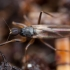 Musė - Tachypeza nubila ♀ | Fotografijos autorius : Žilvinas Pūtys | © Macrogamta.lt | Šis tinklapis priklauso bendruomenei kuri domisi makro fotografija ir fotografuoja gyvąjį makro pasaulį.
