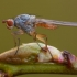 Musė - Tephrochlamys flavipes | Fotografijos autorius : Žilvinas Pūtys | © Macrogamta.lt | Šis tinklapis priklauso bendruomenei kuri domisi makro fotografija ir fotografuoja gyvąjį makro pasaulį.