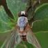 Vaismusė - Leucophenga maculata | Fotografijos autorius : Gintautas Steiblys | © Macrogamta.lt | Šis tinklapis priklauso bendruomenei kuri domisi makro fotografija ir fotografuoja gyvąjį makro pasaulį.
