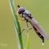 Žiedmusė - Platycheirus europaeus ♀ | Fotografijos autorius : Darius Baužys | © Macrogamta.lt | Šis tinklapis priklauso bendruomenei kuri domisi makro fotografija ir fotografuoja gyvąjį makro pasaulį.