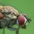 Žiedenė - Hydrophoria lancifer | Fotografijos autorius : Vidas Brazauskas | © Macrogamta.lt | Šis tinklapis priklauso bendruomenei kuri domisi makro fotografija ir fotografuoja gyvąjį makro pasaulį.