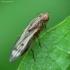 Musė - Opomyza germinationis | Fotografijos autorius : Vidas Brazauskas | © Macrogamta.lt | Šis tinklapis priklauso bendruomenei kuri domisi makro fotografija ir fotografuoja gyvąjį makro pasaulį.