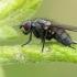 Žiedenė - Botanophila sp. ? | Fotografijos autorius : Gintautas Steiblys | © Macrogamta.lt | Šis tinklapis priklauso bendruomenei kuri domisi makro fotografija ir fotografuoja gyvąjį makro pasaulį.