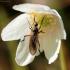Snapmusė - Empididae   Fotografijos autorius : Ramunė Vakarė   © Macrogamta.lt   Šis tinklapis priklauso bendruomenei kuri domisi makro fotografija ir fotografuoja gyvąjį makro pasaulį.