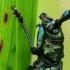 Muskusinis kvapūnas - Aromia moschata | Fotografijos autorius : Vidas Brazauskas | © Macrogamta.lt | Šis tinklapis priklauso bendruomenei kuri domisi makro fotografija ir fotografuoja gyvąjį makro pasaulį.