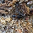 Raudonpetis dulkiagraužis -  Mycetochara flavipes | Fotografijos autorius : Vitalii Alekseev | © Macrogamta.lt | Šis tinklapis priklauso bendruomenei kuri domisi makro fotografija ir fotografuoja gyvąjį makro pasaulį.