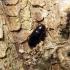 Dulkiagraužis - Mycetochara linearis (Illiger, 1794) | Fotografijos autorius : Vitalii Alekseev | © Macrogamta.lt | Šis tinklapis priklauso bendruomenei kuri domisi makro fotografija ir fotografuoja gyvąjį makro pasaulį.