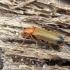 Laibavabalis - Nacerdes melanura (Linnaeus, 1758) | Fotografijos autorius : Vitalii Alekseev | © Macrogamta.lt | Šis tinklapis priklauso bendruomenei kuri domisi makro fotografija ir fotografuoja gyvąjį makro pasaulį.