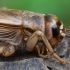 Naminis svirplys - Acheta domesticus ♀ | Fotografijos autorius : Žilvinas Pūtys | © Macrogamta.lt | Šis tinklapis priklauso bendruomenei kuri domisi makro fotografija ir fotografuoja gyvąjį makro pasaulį.