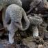 Verpsčiasporė alvytė - Helvella macropus | Fotografijos autorius : Eglė Vičiuvienė | © Macrogamta.lt | Šis tinklapis priklauso bendruomenei kuri domisi makro fotografija ir fotografuoja gyvąjį makro pasaulį.