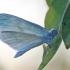Netikroji garstytė - Leptidea juvernica | Fotografijos autorius : Agnė Našlėnienė | © Macrogamta.lt | Šis tinklapis priklauso bendruomenei kuri domisi makro fotografija ir fotografuoja gyvąjį makro pasaulį.
