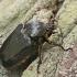 Niūraspalvis auksavabalis - Osmoderma barnabita   Fotografijos autorius : Gintautas Steiblys   © Macrogamta.lt   Šis tinklapis priklauso bendruomenei kuri domisi makro fotografija ir fotografuoja gyvąjį makro pasaulį.