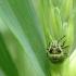 Medinės skydblakės (Palomena prasina) nimfa | Fotografijos autorius : Vidas Brazauskas | © Macrogamta.lt | Šis tinklapis priklauso bendruomenei kuri domisi makro fotografija ir fotografuoja gyvąjį makro pasaulį.