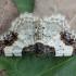 Ožekšninis margasprindis - Ligdia adustata | Fotografijos autorius : Žilvinas Pūtys | © Macrogamta.lt | Šis tinklapis priklauso bendruomenei kuri domisi makro fotografija ir fotografuoja gyvąjį makro pasaulį.