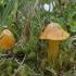 Oranžinė guotenė - Hygrocybe acutoconica | Fotografijos autorius : Vytautas Gluoksnis | © Macrogamta.lt | Šis tinklapis priklauso bendruomenei kuri domisi makro fotografija ir fotografuoja gyvąjį makro pasaulį.