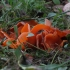 Oranžinis lėkščiagrybis - Aleuria aurantia | Fotografijos autorius : Vytautas Gluoksnis | © Macrogamta.lt | Šis tinklapis priklauso bendruomenei kuri domisi makro fotografija ir fotografuoja gyvąjį makro pasaulį.