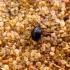 Orobitis cyaneus - Našlaitinis straubliukas | Fotografijos autorius : Vitalii Alekseev | © Macrogamta.lt | Šis tinklapis priklauso bendruomenei kuri domisi makro fotografija ir fotografuoja gyvąjį makro pasaulį.