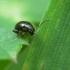 Pėdūnė - Longitarsus sp. | Fotografijos autorius : Vidas Brazauskas | © Macrogamta.lt | Šis tinklapis priklauso bendruomenei kuri domisi makro fotografija ir fotografuoja gyvąjį makro pasaulį.