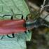 Pūsliavabalis - Anthocomus rufus ♂ | Fotografijos autorius : Žilvinas Pūtys | © Macrogamta.lt | Šis tinklapis priklauso bendruomenei kuri domisi makro fotografija ir fotografuoja gyvąjį makro pasaulį.