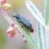 Pajūrinis pūsliavabalis - Paratinus femoralis | Fotografijos autorius : Romas Ferenca | © Macrogamta.lt | Šis tinklapis priklauso bendruomenei kuri domisi makro fotografija ir fotografuoja gyvąjį makro pasaulį.